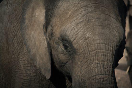 La tragedia de los comunes: El elefante africano
